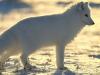 Mountain nature reserve: Ice Fox