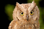 lindop - Eagle-owl (5 years)