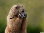 Asila - Marmot