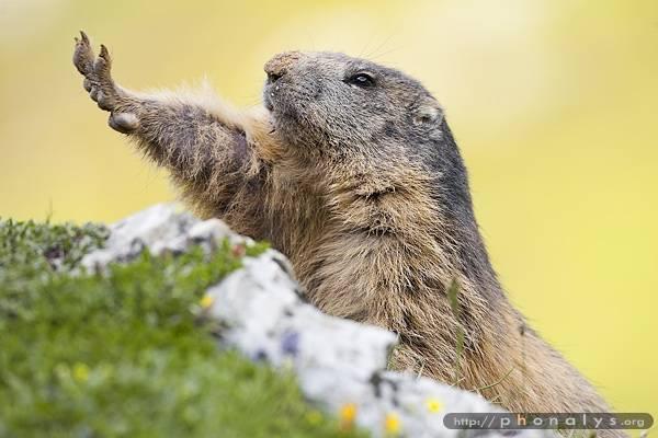 Myrtille - Marmot