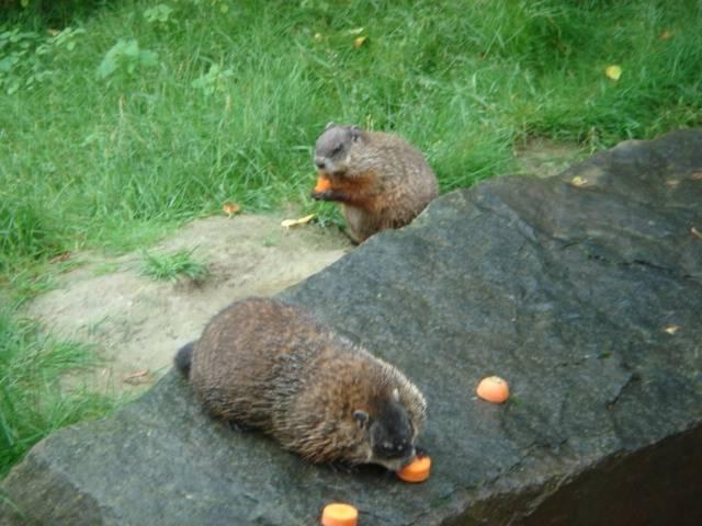 m - Marmot