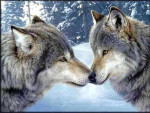 les lynx en or - Lynx (1 year)