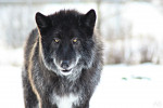 Shadow - Wolf