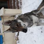 Leo - Male Wolf (1 year)