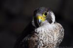 Turkey - Male Hawk (2 years)