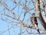 Hawk - Male Hawk (8 years)