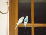 blue - Male Budgerigar (2 years)