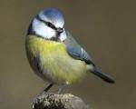 mimi - Chickadee