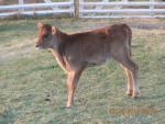 Cassie - Cow (1 month)