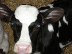 Fanny - Cow