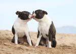 Deux Boston Terriers s'embrassent sur la plage