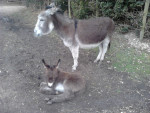 Fiona and Shrek - Male Donkey (2 months)