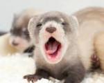 Hurón ?.? - Male Ferret (1 month)