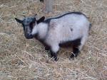 Douchka - Male Goat (10 months)