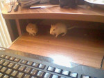 Sammy&Speedy - Male Mouse