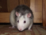 Razmo - Male Rat (1 year)