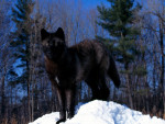 Black Wolf In Snow Pic - Male Wolf (3 years)
